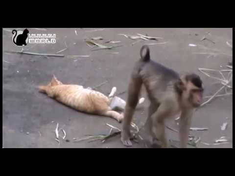 Kucing VS Monyet [Bikin Ngakak]