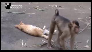 Download Video kucing VS monyet [Bikin Ngakak] MP3 3GP MP4