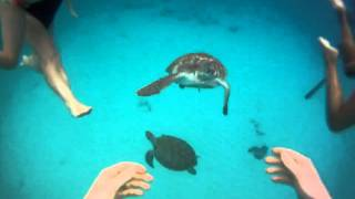 My Turtle Swim in Barbados