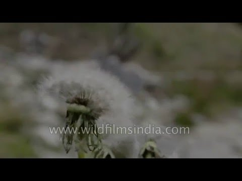 Blowing seeds from a Dandelion: Slow motion