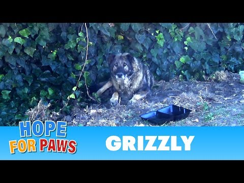 Senior German Shepherd abandoned by his owners.  I just don't understand this behavior  :-(