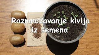 Razmnožavanje kivija iz semena 🥝 ✅