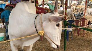 Impressive hallikar oxen of famous Farmer Mariswamya