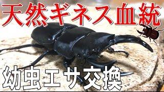 昆虫採集☆カブトムシ☆クワガタムシ 天然ギネス血統オオクワ幼虫エサ交換...