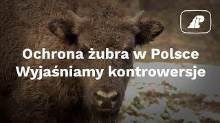 Ochrona żubra w Polsce. Wyjaśniamy kontrowersje