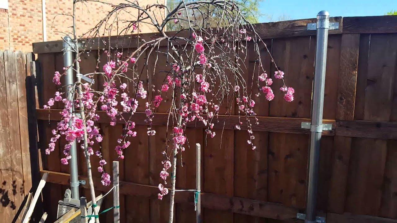 Weeping Cherry Tree Bloom Youtube