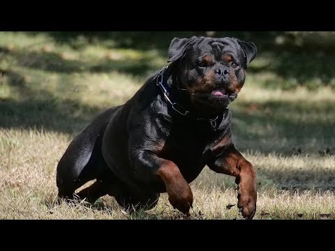 Types of Rottweiler in the World | Rottweiler Dog Types by Dog Lovers