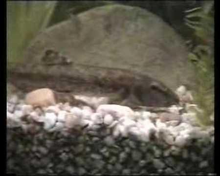 My Stone Loach In Fish Tank / Bachschmerle Im Aquarium [2/4]