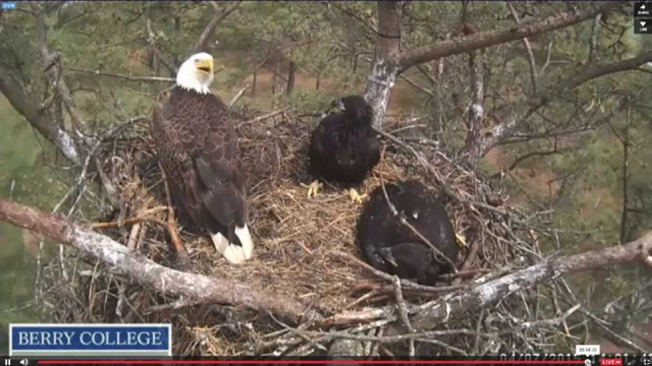 Eagle webcam at berry college