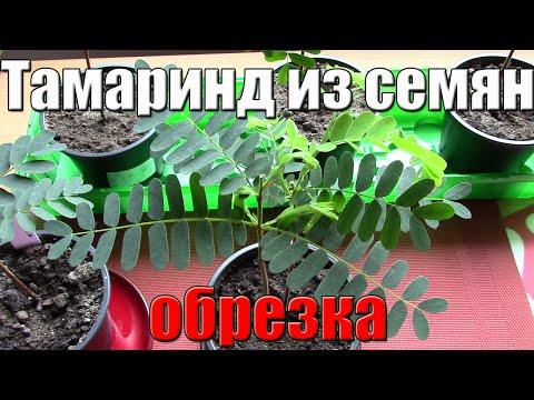 Фрукты / Тамаринд - Сильный женский афродизиак