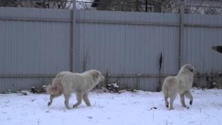 Кло и Рона Пиренейская горная собака.