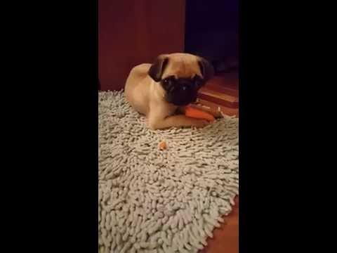 Pugs Bunny (pug eating a carrot like a rabbit)
