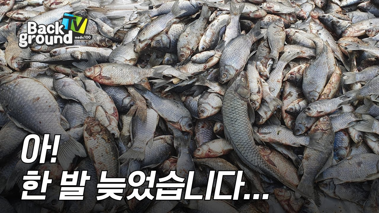 바다에 빠져 죽은 붕어떼! 민물고기 지옥이 된 바닷가!  하지만 더 중요한 것이 있습니다.