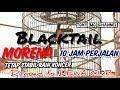 Black Tail Morena  Jam Perjalanan Kondisi Kaki Sakit Stabil Raih Koncer Di Road To Dewa Cup  Mp3 - Mp4 Download