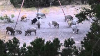 hog kill, bowhunting the Texas hill country,  San Saba Texas,  October 11, 2015