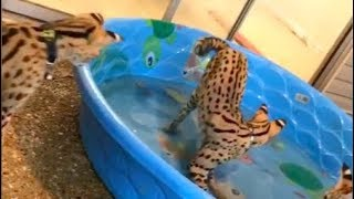 Best of CATS  that LOVE water!!