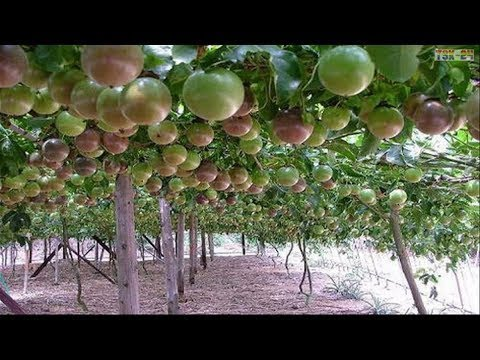 WOW! Amazing Agriculture Technology - Passion fruit ❤