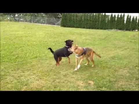 Dominant Behaviour of Rottweiler and Shepherd