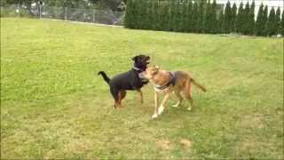 Dominant Behaviour Of Rottweiler And Shepherd