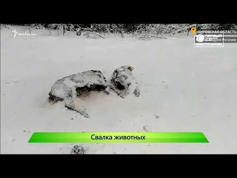 Нашли могильник с телятами  Новости Кирова 22 01 2020