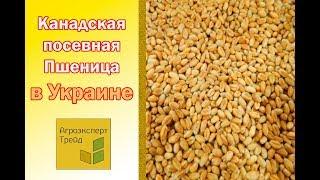 Канадская пшеница в Украине посевная  - семена от производителя Агроэксперт-Трейд