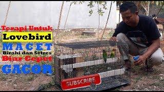terapi !!! untuk LOVEBIRD macet BIRAHI dan Stres  biar cepet GACOR lagi  !!!