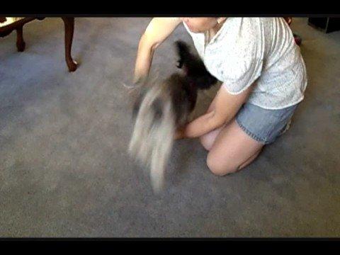 How to Train a Havanese Puppy to do Tricks - wagwalking.com
