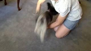 Havanese Dog Tricks