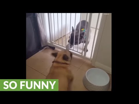 Frenchies play tug-of-war from opposite sides of gate
