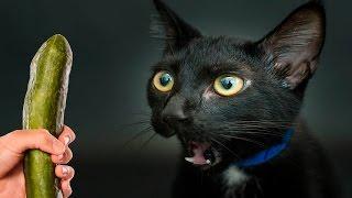 Смешные Кошки боятся огурцов - Часть 2 - Кошки Против Огурцов - Кошки в Шоке - Смешные Кошки 2017