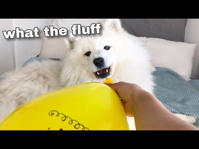 My Dog Sees A Balloon For The First Time 🎈[FUNNY REACTION] 😂