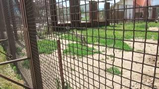 Волки в минском зоопарке.(, 2014-07-23T16:20:25.000Z)