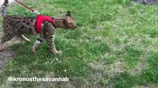 Kronos the savannah walking outdoor. Кошка саванна гуляет на улице.