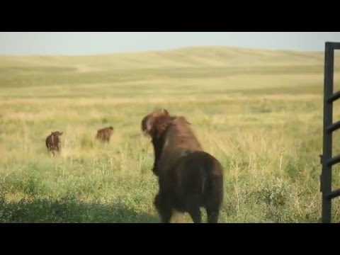 """The Buffalo People"" (2014)"