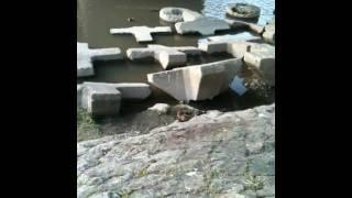 鴨川にヌートリアがいました。2010年2月撮影。どんぐり橋付近。