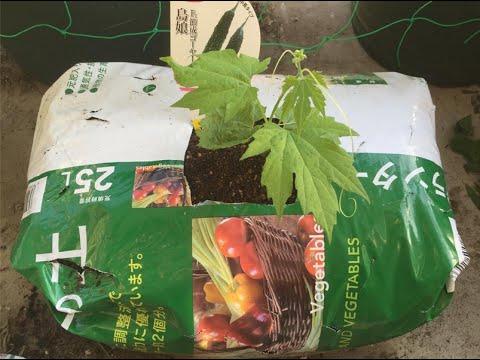 วิธีปลูกผักในถุงดิน (ปลูกมะระ ปลูกบวบ)