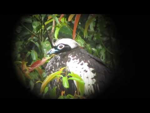 Black-fronted Piping-Guan - Pipile Jacutinga - Intervales, Brazil