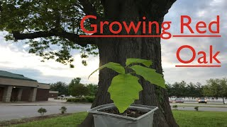 How to grow Red Oak trees from seed