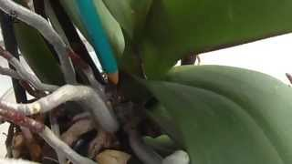 орхидея Phalaenopsis: чем отличается корень от цветоноса(, 2014-08-03T10:05:09.000Z)