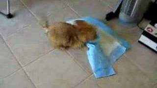 Dog goes nuts on puppy pad