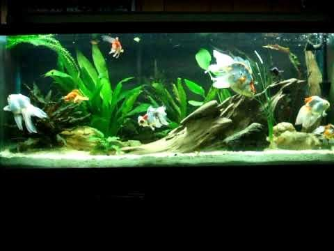100 gallon goldfish tank 3 months old youtube for Fish tank for goldfish