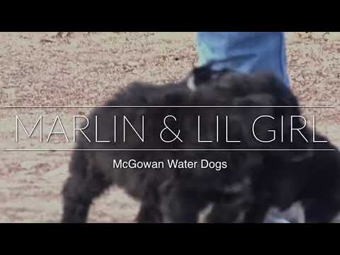 Marlin and Lil Girl AKC Portuguese Water Dog Puppies