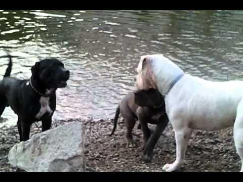 cane corso, lab, dobermann, american bulldog, great dane puppy ...