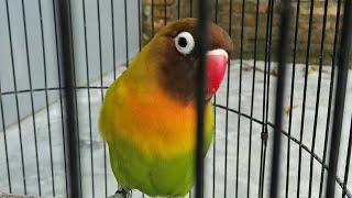 Pancingan Agar Lovebird Ngekek Panjang Paling Di Cari II