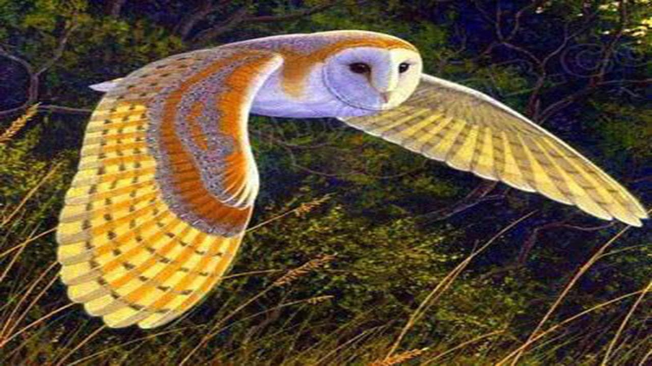 Very Beautiful Owl Youtube