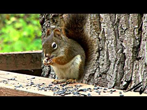 Squirrel - YouTube HD