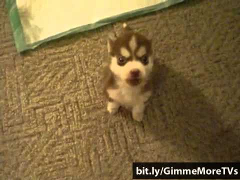 World's SMALLEST Trained Husky Puppies - Remmy 8wk old