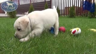 Мальчик c Синей лентой 6 недель   Щенки лабрадора / Labrador puppies