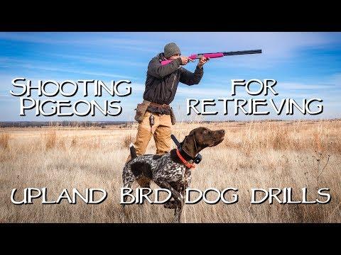 Shooting Pigeons For Retrieving - Upland Bird Dog Training