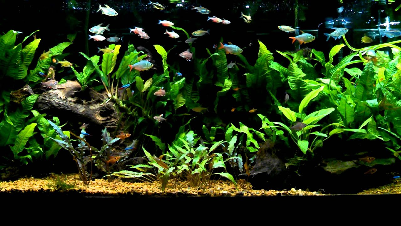 Heavily stocked heavily planted tetra tank youtube for Tetra fish tank
